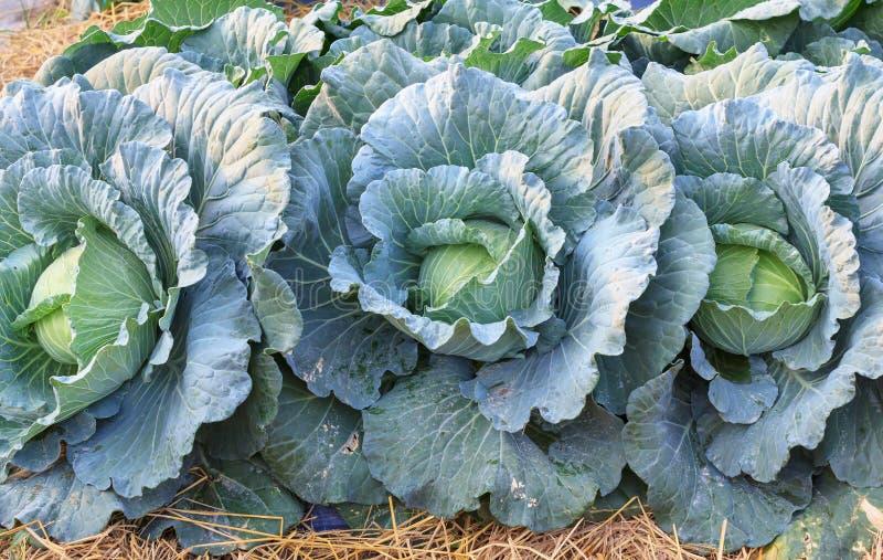 De verse organische groene grote salade van koolgroenten in landbouwbedrijf voor gezondheid, voedsel en landbouwconceptontwerp stock afbeeldingen