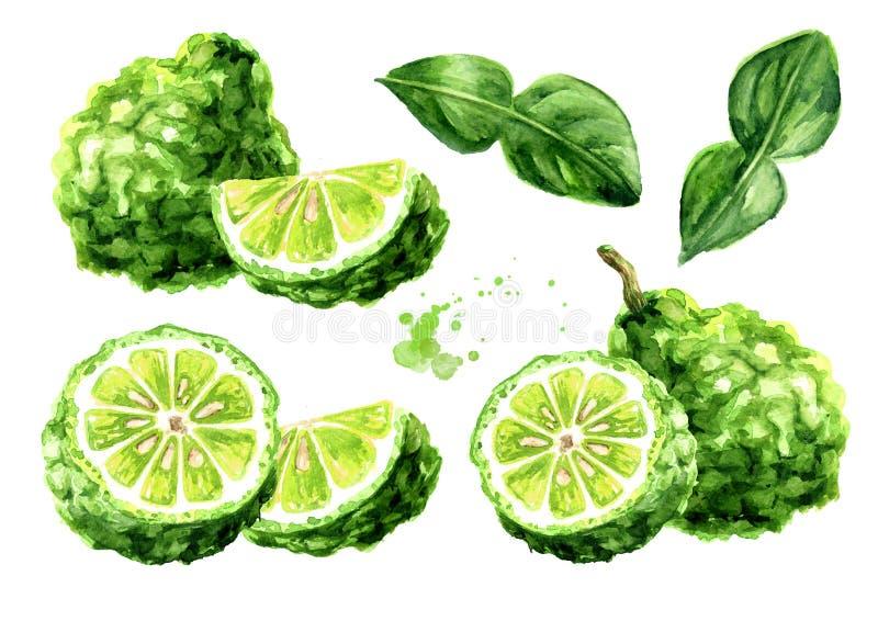 De verse reeks van het bergamotfruit Waterverfhand getrokken die illustratie, op witte achtergrond wordt ge?soleerd stock illustratie