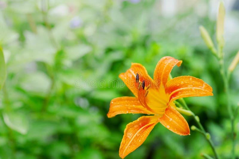 De verse sinaasappel bloeit lilly op aardachtergrond royalty-vrije stock afbeelding