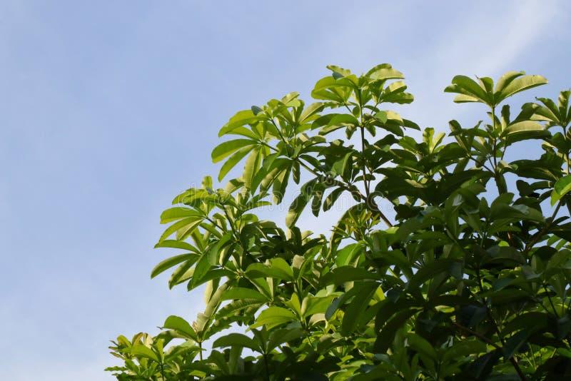 De verse tak van het boomblad op groen de taklandschap van de hemel blauwe, Bosboom, Achtergrondboom groene natuurlijk, Boom Sfer stock afbeelding