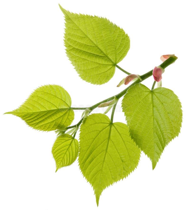 De verse tak van de lindeboom met groene die bladeren op witte achtergrond worden geïsoleerd stock fotografie