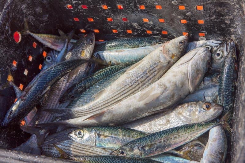 De verse Vangst van Vissen royalty-vrije stock foto's