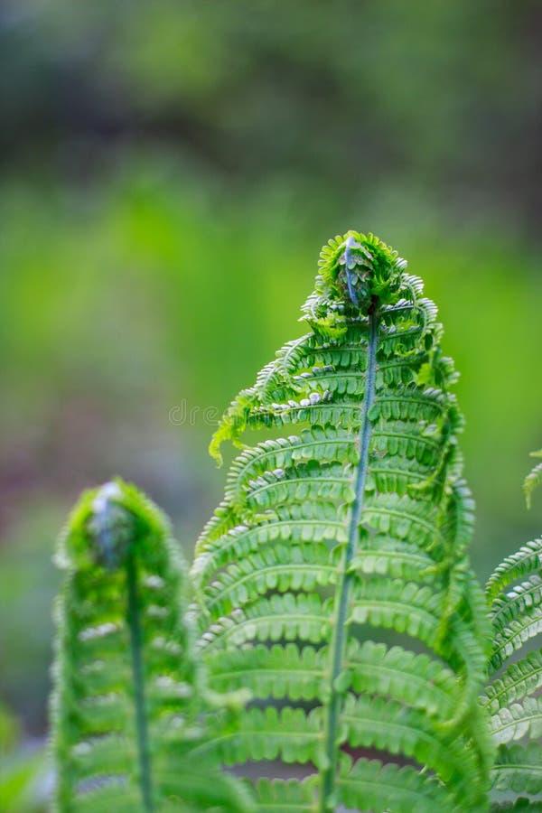 De verse varen krulde bladeren in de bosvarens openend in de lente Sluit omhoog royalty-vrije stock foto