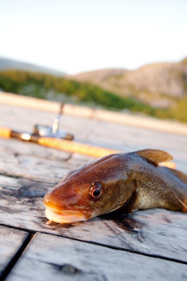 De verse Vissen van de Kabeljauw royalty-vrije stock foto's
