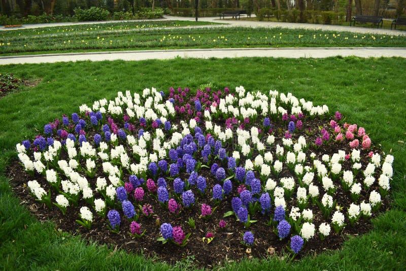 De verse vroege bollen van de de lente purpere, witte en roze die hyacint, in fowerbeds van de tuin van het stadspark worden gekw stock afbeelding