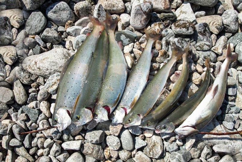 De verse wilde vissen liggen op de rotsen stock foto's