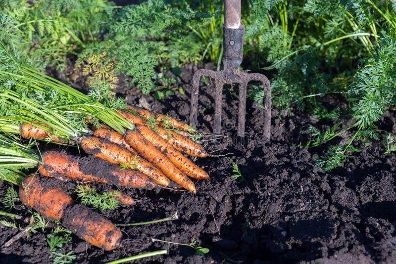 De verse wortel ligt naast de vorken op het tuinbed royalty-vrije stock foto