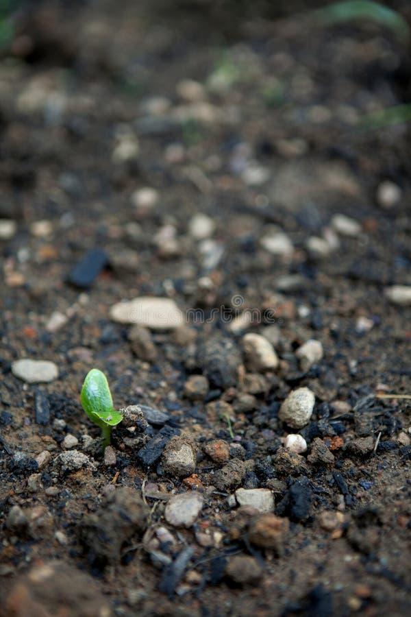 De Verticaal van de Cucerbitspruit stock afbeeldingen