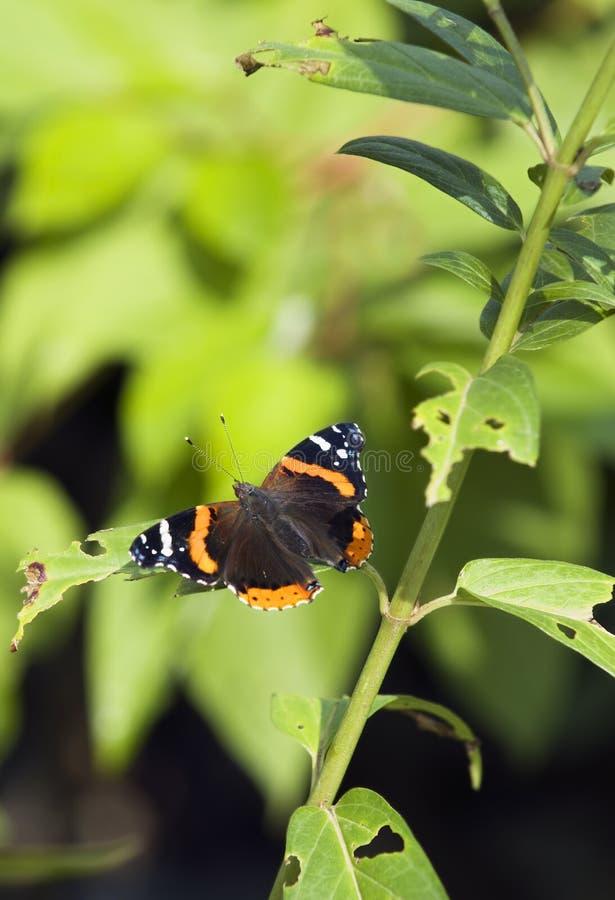 De Verticaal van de Vlinder van de admiraalvlinder (atalanta Limenitis) royalty-vrije stock afbeelding