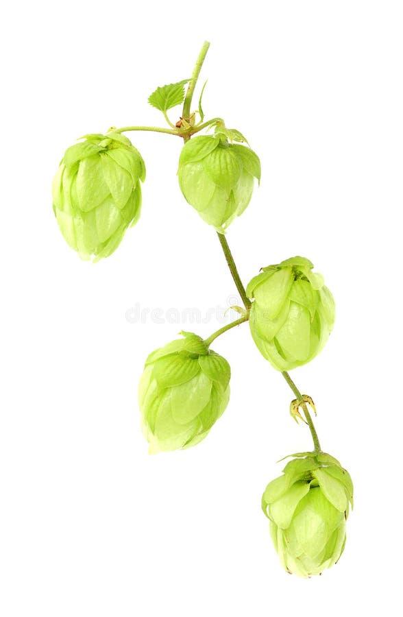 De verticale tak van hop royalty-vrije stock fotografie