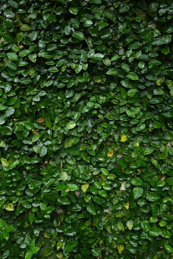 De verticale waterige kruipende achtergrond van de fig.wijnstok royalty-vrije stock fotografie