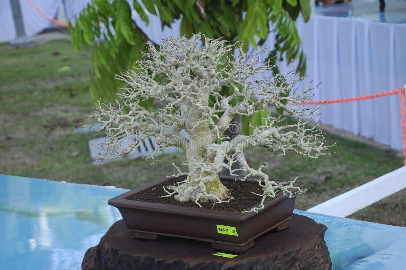 De vertoning van de bonsaiboom voor publiek in Koninklijke Floria Putrajaya-tuin in Putrajaya, Maleisië stock afbeelding
