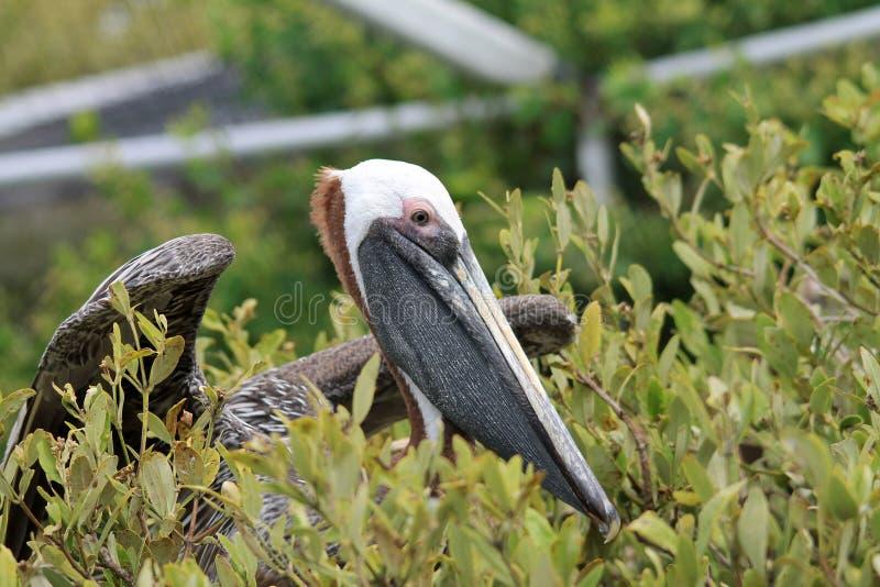 De verwonde pelikaan van Florida in de struik bij vogelreservaat stock afbeeldingen