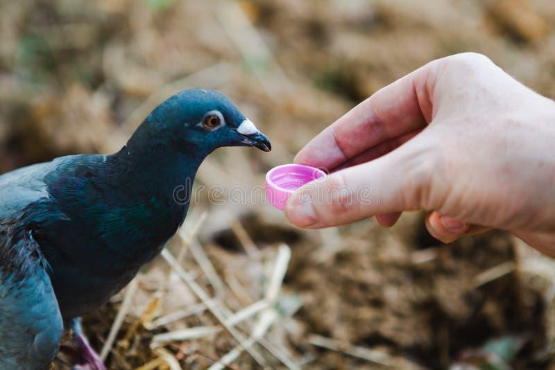 De verwonde wilde duif verloor schuchterheid en drinkt water van klein deksel - verbinding tussen menselijk en dierlijk stock afbeeldingen
