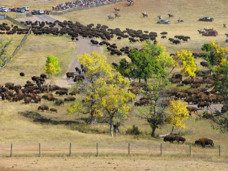 De Verzameling van buffels stock fotografie