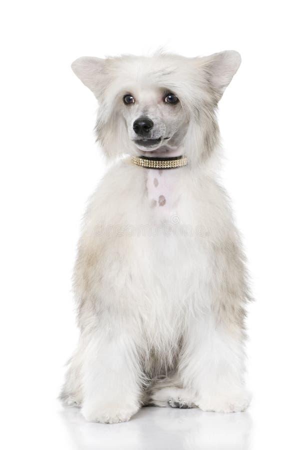 De verzorgde Chinese Kuifzitting van de Hond - Powderpuff ( stock foto's