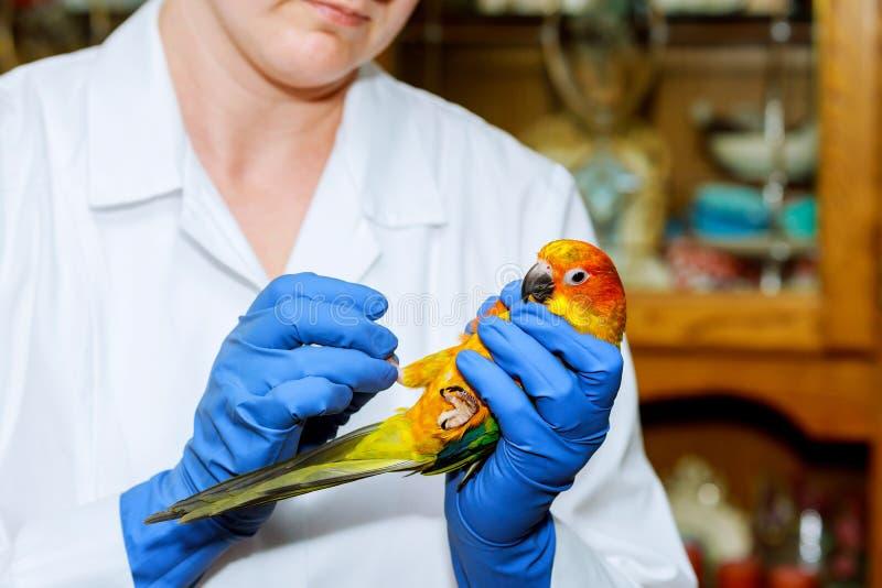 De veterinaire arts schrijft een controle van een papegaai uit veterinair stock afbeeldingen