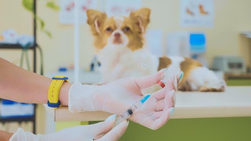 De veterinaire arts treft voorbereidingen om een hond in te spuiten stock fotografie