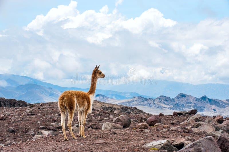 De vicuna (Vicugna-vicugna) of vicugna zijn wilde Zuidamerikaanse kameel stock afbeeldingen