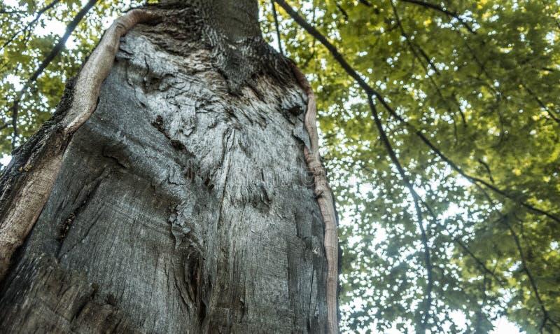 De vieille usine étrange peu commune d'écorce d'arbre à l'intérieur de lumière du soleil d'été en bois de forêt photo libre de droits