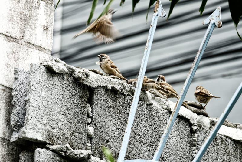 De vier bruine musvogels bij het beton blokkeren muur royalty-vrije stock afbeeldingen