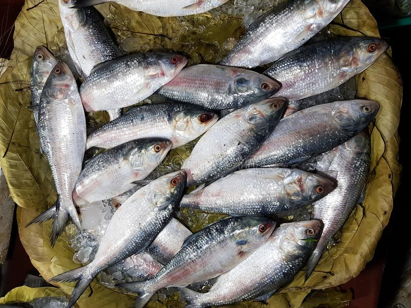 De vijf-vlek Haring, Hilsa ilisha van de elfttenualosa van Kelee vist op ijs voor verkoop in vissenmarkt met zilverachtige schaal royalty-vrije stock afbeelding