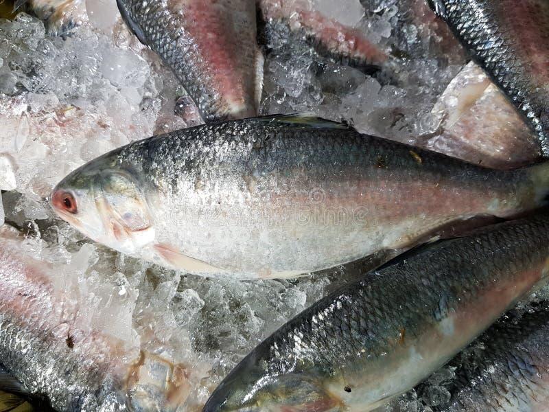 De vijf-vlek Haring, Hilsa ilisha van de elfttenualosa van Kelee vist op ijs voor verkoop in vissenmarkt met zilverachtige schaal stock foto's