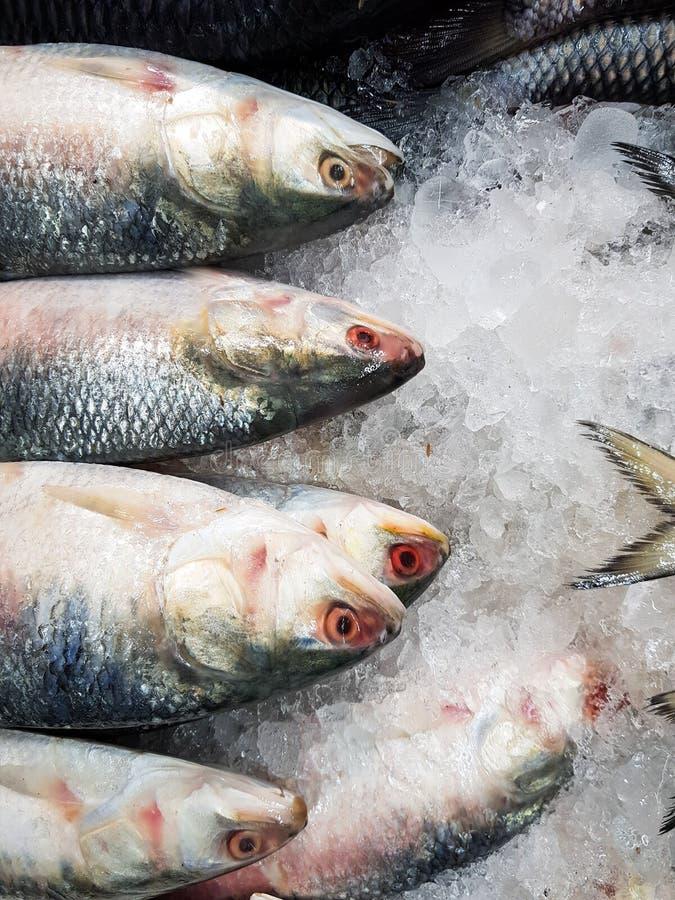 De vijf-vlek Haring, Hilsa ilisha van de elfttenualosa van Kelee vist op ijs voor verkoop in vissenmarkt met zilverachtige schaal royalty-vrije stock foto