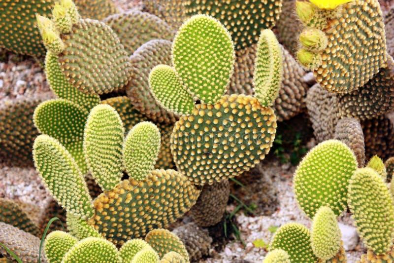 De Vijgencactus van de cactus microdasys stock foto's