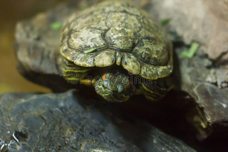 De vijverschuif is een type van zoetwaterschildpad stock foto's