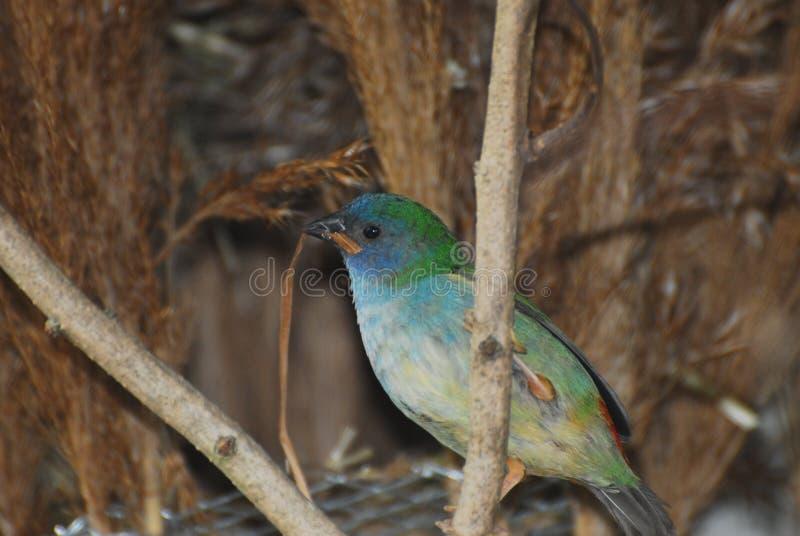 De Vink van de Tricoloredpapegaai royalty-vrije stock foto