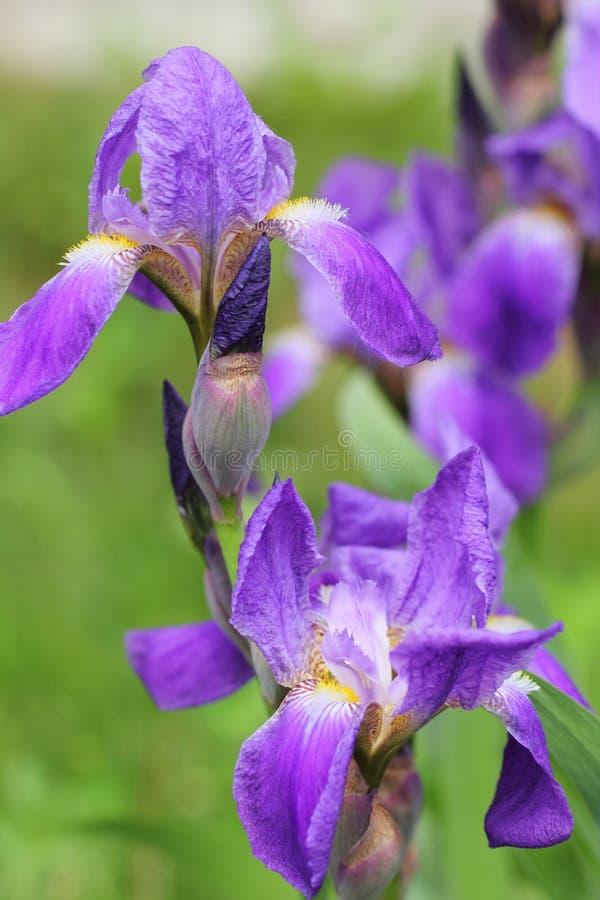 De violette Bloemen van de Iris stock afbeeldingen