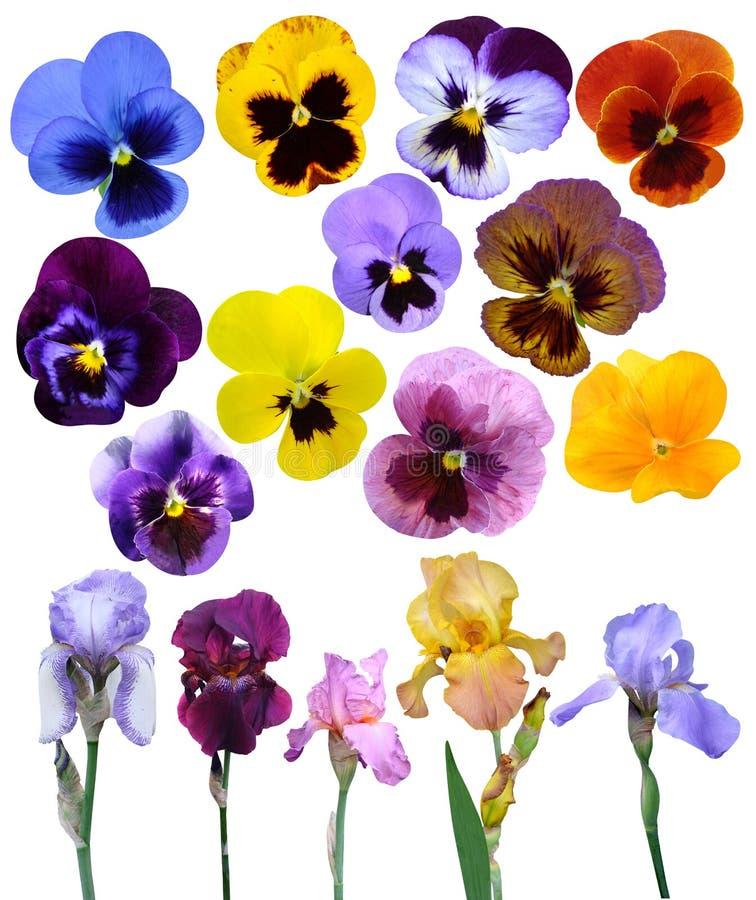 Is de violette bloemen van irissen het geïsoleerd stock fotografie