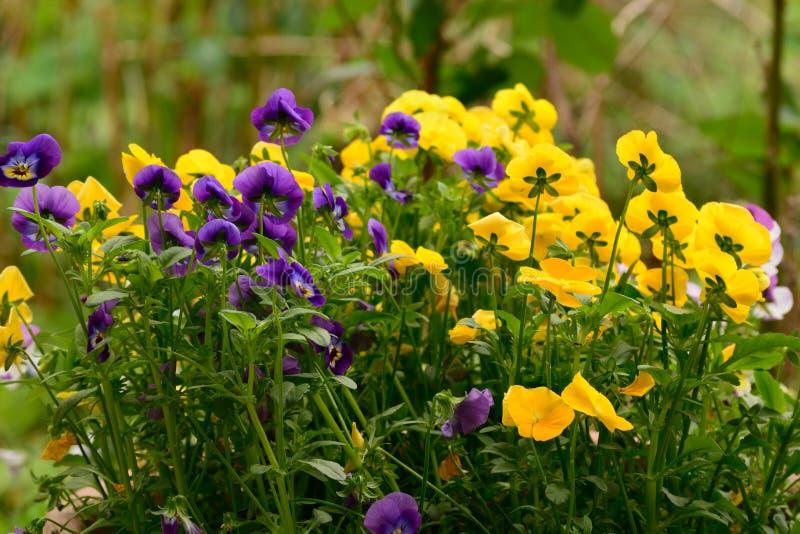de violette en gele mooie bloem in de tuin glanste bij zon royalty-vrije stock afbeelding