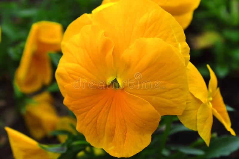 De violette gele mooie lente royalty-vrije stock afbeelding