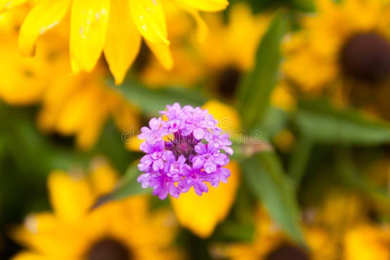 De violette ijzerkruidbloemen op vage gele achtergrond met regendalingen is in de tuin bij de zomer, macroclose-up royalty-vrije stock afbeeldingen