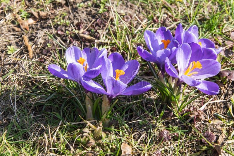 De violette krokussen in het gras sluiten omhoog foto royalty-vrije stock fotografie