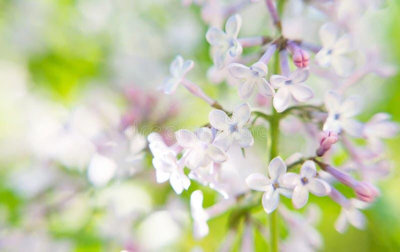 De violette lilac verse bloemenachtergrond, macro, sluit omhoog royalty-vrije stock fotografie
