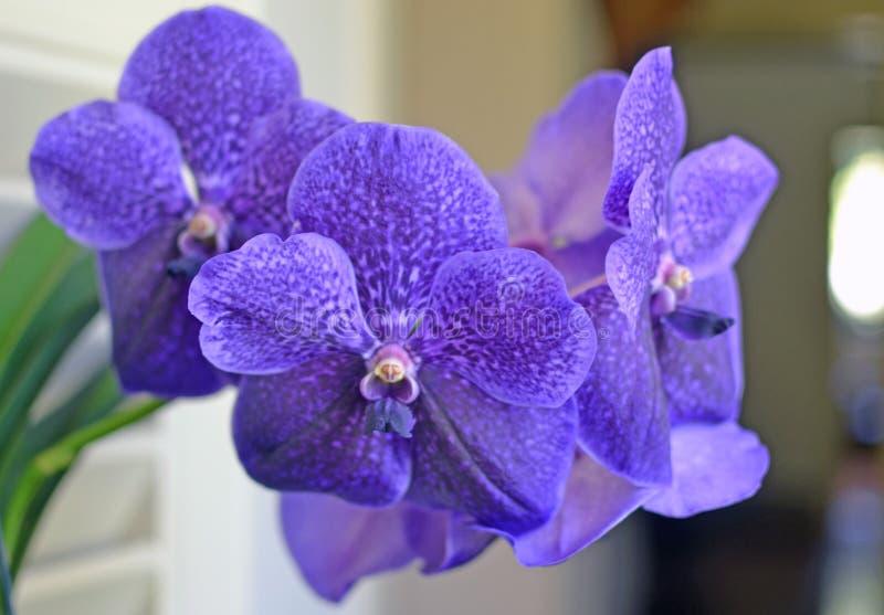 De Violette Orchidee Van Vanda In Bamboevaas En Het Lege