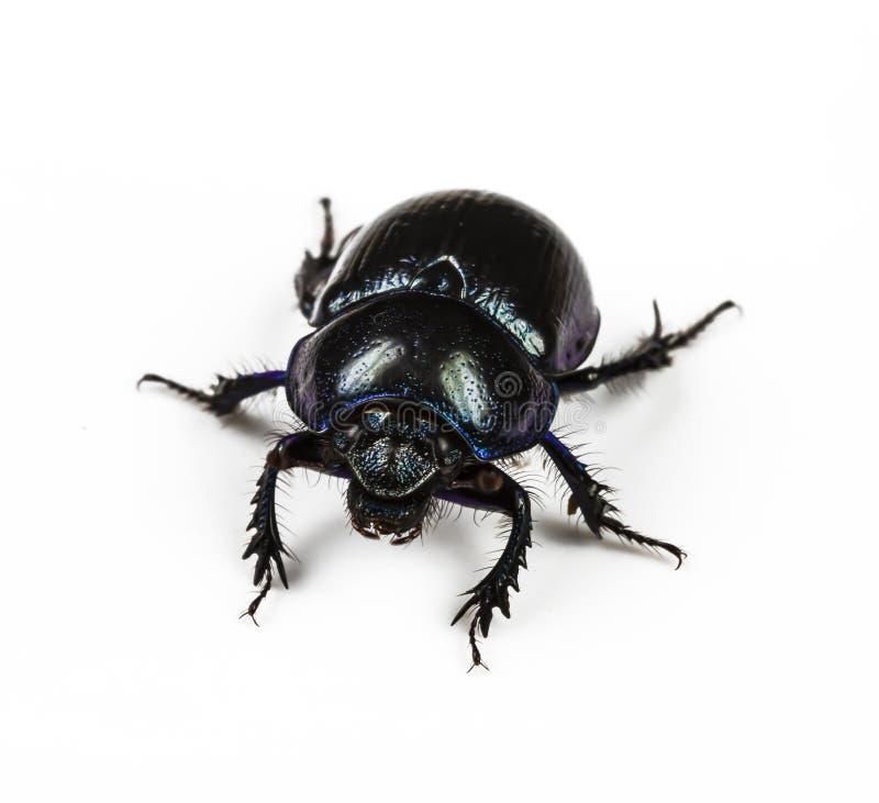 De violette zwarte van Dung Beetle stock fotografie