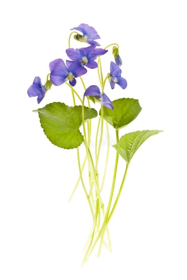De viooltjes van de lente op wit stock fotografie