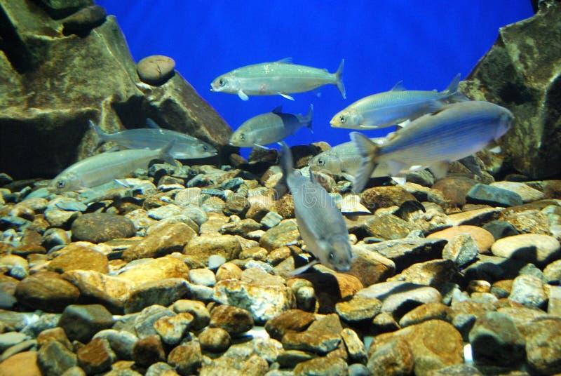 De vissen in een aquarium, sluiten omhoog stock afbeelding