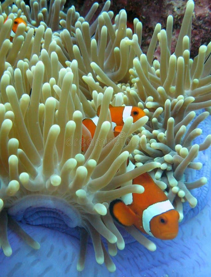De Vissen en de Anemoon van de clown stock afbeeldingen