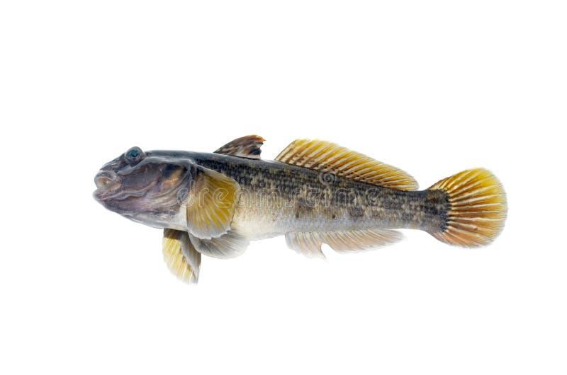 De vissen isoleren stock afbeeldingen