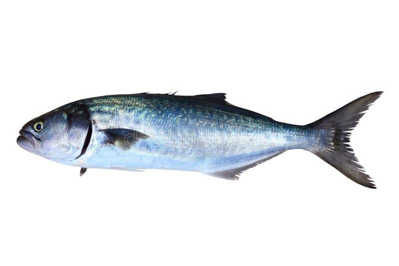 De vissen Pomatomus geïsoleerde6 Saltatrix van de blauwbaars stock afbeeldingen