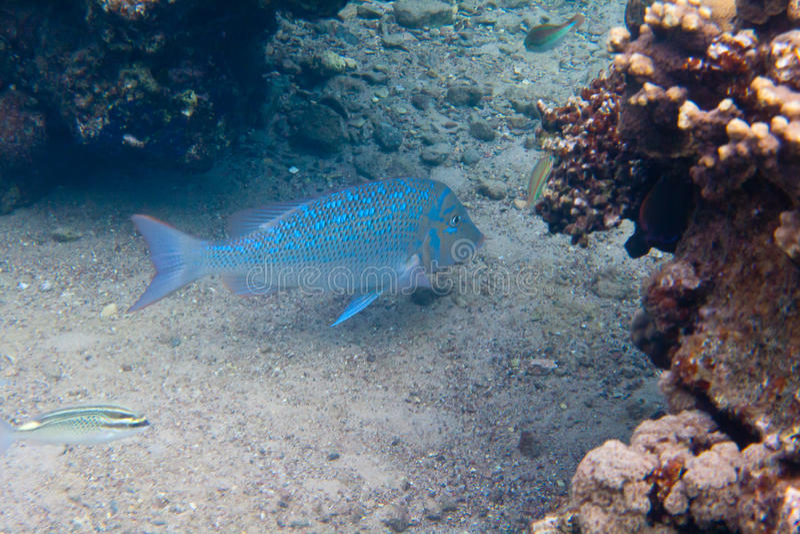Is de vissen Spangled keizer onder water stock foto's