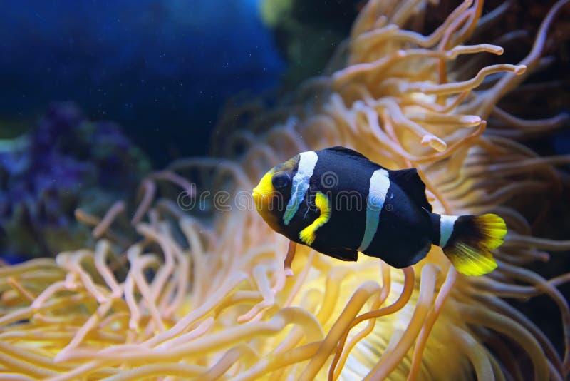 De vissen van Amphiprionpolymnus (zwart-witte vorm), onderwaterphot stock fotografie