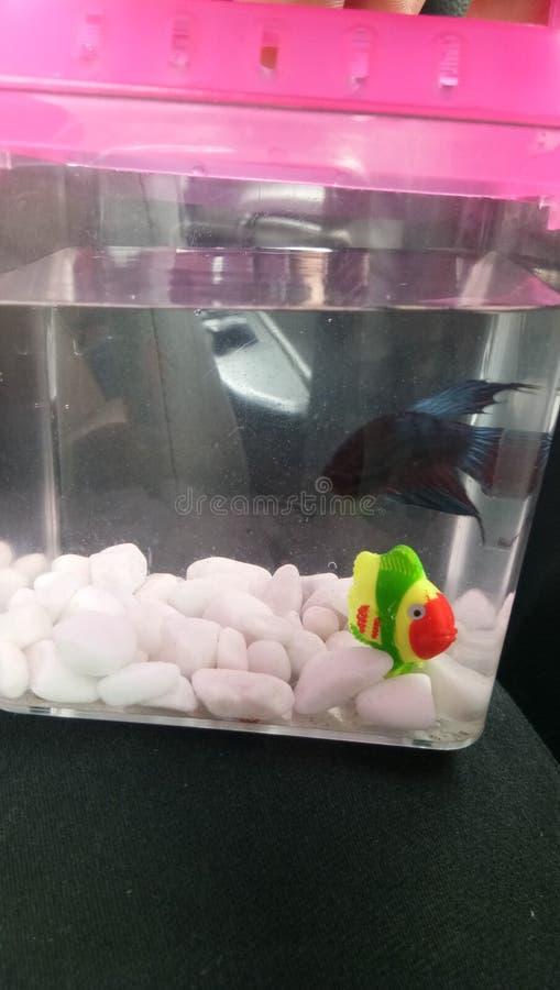 De vissen van Betta stock foto's