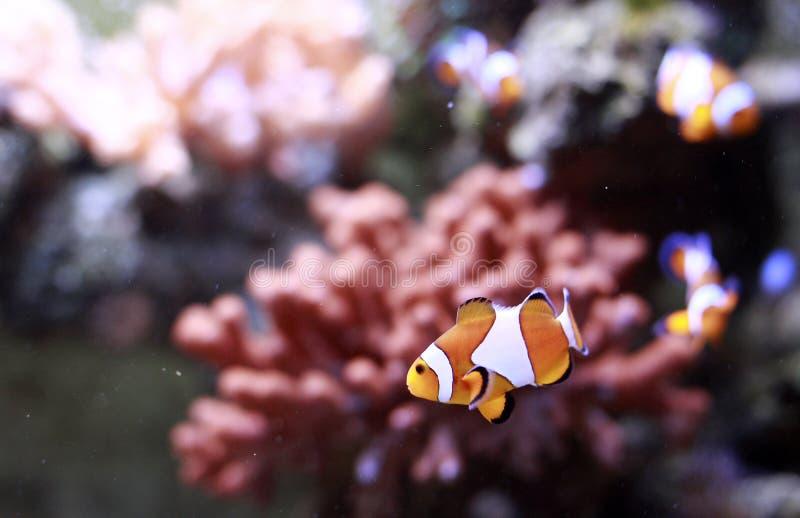 De vissen van de clown stock afbeeldingen