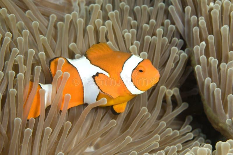 De Vissen van de clown stock fotografie